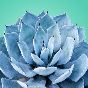 Blue-Agave-Fragrance-Oil
